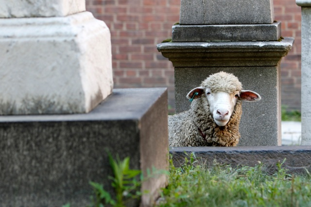 A sheep looks over a wall in the cemetery at the Basilica of St. Patrick's Old Cathedral in New York City Aug. 9. The parish uses three grazing sheep to cut the graveyard's grass this summer. (CNS photo/Gregory A. Shemitz)