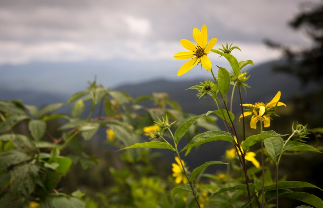 Stunning views are available at the Great Smoky Mountains National Park near Gatlinburg, Tenn., a place where many travelers are finding spiritual replenishment during the National Park Service's centennial year. (CNS/Chaz Muth)